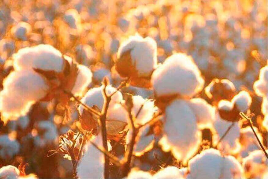 Plantación algodón